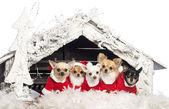 Chihuahuas sitting and wearing a Christmas suit in front of Christmas nativity scene with Christmas tree and snow against white background — Stock Photo