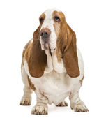 Basset Hound standing and looking away, isolated on white — Stock Photo