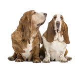 Two Basset Hounds sitting, looking at the camera and looking rig — Stock Photo