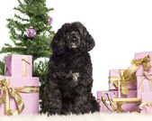 Tibetan terrier sitting in front of Christmas decorations against white background — Zdjęcie stockowe