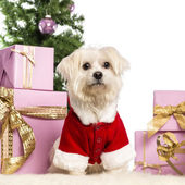 Maltese sitting and wearing a Christmas suit in front of Christmas decorations against white background — Stock Photo