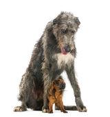 Deerhound escocês sentado sobre um petit brabancon, isolado na w — Foto Stock