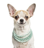 Close-up of a smiling Chihuahua (2 years old) wearing a pearl ne — Stock Photo
