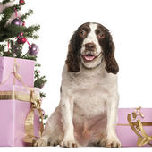 French Spaniel sitting in front of Christmas decorations against white background — Stock Photo