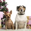 Yorkshire Terrier and Jack Russell Terrier sitting in front of Christmas decorations against white background — Stock Photo
