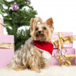 Yorkshire Terrier sitting and wearing a Christmas scarf in front of Christmas decorations against white background - Stok fotoğraf