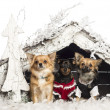 Royalty-Free Stock Photo: Chihuahuas sitting and dressed in front of Christmas nativity scene with Christmas tree and snow against white background