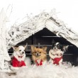Chihuahuas sitting and wearing Christmas suit in front of Christmas nativity scene with Christmas tree and snow against white background - Stock Photo