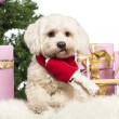 Maltese sitting and wearing a Christmas scarf in front of Christmas decorations against white background - Stock Photo