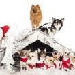 Group of Chihuahuas sitting and standing in front and on Christmas nativity scene with Christmas tree and snow against white background — Stock Photo
