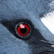 Close-up of Victoria Crowned Pigeon - Goura victoria — Stock Photo