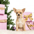 Chihuahua sitting in front of Christmas decorations against white background - Stockfoto