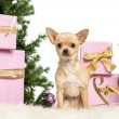 Chihuahua sitting in front of Christmas decorations against white background - Stock Photo