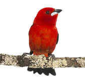 Brazilian Tanager perched on a branch - Ramphocelus bresilius - — Stock Photo