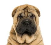 Close-up on facing Sharpei puppy head (11 weaks old) — Stock Photo