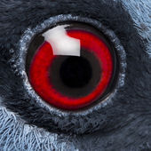 Close up of Victoria Crowned Pigeon's eye - Goura victoria — Stock Photo
