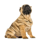 Shar pei puppy sitting and looking up (11 weeks old) isolated on — Stock Photo