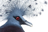 Head of Victoria Crowned Pigeon - Goura victoria — Stock Photo