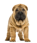 Front view of Shar pei puppy (11 weeks old) isolated on white — Stock Photo