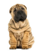 Shar pei puppy sitting (11 weeks old) isolated on white — Stock Photo