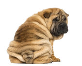 Back view of a Shar pei puppy sitting and looking at the camera — Stock Photo