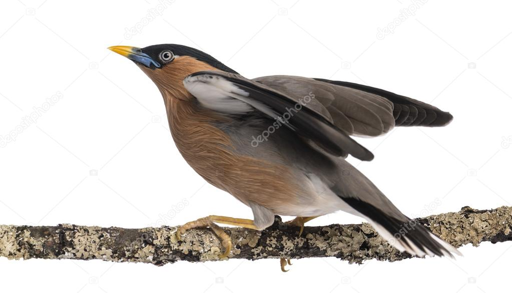 Myna bird flying