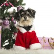 Maltese sitting and wearing a Christmas suit in front of Christmas decorations against white background - Stockfoto
