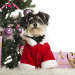 Maltese sitting and wearing a Christmas suit in front of Christmas decorations against white background - Lizenzfreies Foto
