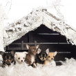 Stock Photo: Chihuahusitting in front of Christmas nativity scene with Christmas tree and snow against white background