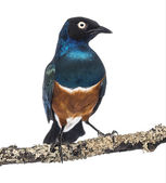 Superb Starling on a branch - Lamprotornis superbus - isolated o — Stock Photo