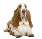 Basset Hound lying, isolated on white — Stock Photo