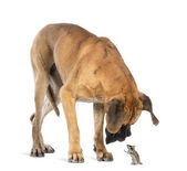 Great Dane looking at a mouse standing up, isolated on white — Stock Photo
