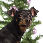 Close up of a Miniature Pinscher in front of Christmas decorations against white background — Zdjęcie stockowe