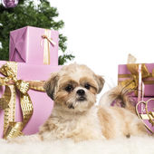 Shih Tzu lying in front of Christmas decorations against white background — Stock Photo