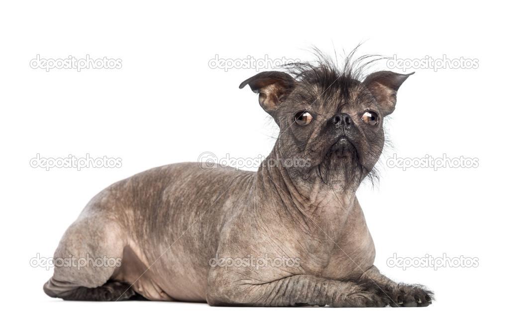 Perro sin pelo de raza mixta, mezcla entre un bulldog francés y un ...