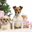 Stock Photo: Shih Tzu and Jack Russell Terrier sitting in front of Christmas decorations against white background