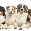 Group of Australian Shepherd lying and looking, isolated on whit — Stock Photo