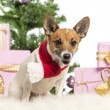 Stock Photo: Jack Russell Terrier sitting and wearing Christmas scarf in front of Christmas decorations against white background