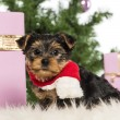 Stock Photo: Yorkshire Terrier sitting and wearing a Christmas scarf in front of Christmas decorations against white background