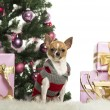 Chihuahua dressed and sitting in front of Christmas decorations against white background — Stock Photo