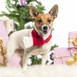 Stock Photo: Jack Russell Terrier standing and wearing Christmas scarf in front of Christmas decorations against white background
