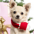 Chihuahua sitting and wearing a Christmas scarf in front of Christmas decorations against white background — Stock Photo