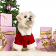 Maltese sitting and wearing a Christmas suit in front of Christmas decorations against white background - Stock Photo