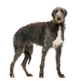 Scottish Deerhound looking at the camera, isolated on white — Stock Photo