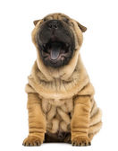 Front view of a Shar pei puppy, open mouth, Yawning, sitting (1 — Stock Photo