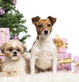 Shih Tzu and Jack Russell Terrier sitting in front of Christmas decorations against white background — Stock Photo