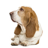 Basset Hound lying and looking left, isolated on white — Stock Photo
