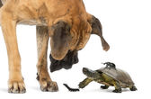 Great Dane looking at a turtle and insects, isolated on white — Stock Photo