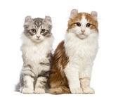 два котята американский керл, 3 месяца, сидит и смотрит в камеру перед белый фон — Стоковое фото