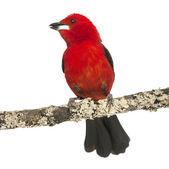 Brazilian Tanager tweeting perched on a branch - Ramphocelus bre — Stock Photo